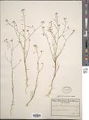 view Heliophila pallida Schltr. ex O.E. Schulz digital asset number 1
