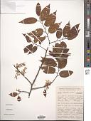 view Ulmus mexicana (Liebm.) Planch. digital asset number 1