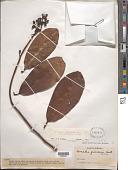 view Souroubea guianensis var. cylindrica (Wittm.) de Roon digital asset number 1