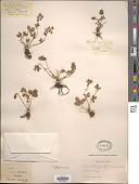 view Potentilla fragarioides L. digital asset number 1