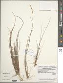 view Agrostis sandwicensis Hillebr. digital asset number 1