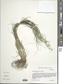 view Carex rosea Willd. digital asset number 1