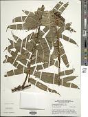 view Lomagramma pteroides J. Sm. digital asset number 1
