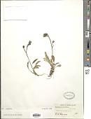 view Hieracium triste Willd. ex Spreng. digital asset number 1
