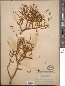 view Phoradendron juniperinum var. ligatum (Trel.) Fosberg digital asset number 1