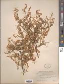 view Sericotheca glabrescens (Greenm.) Rydb. digital asset number 1