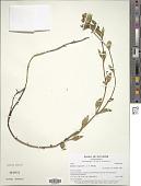 view Halenia longicaulis J.S. Pringle digital asset number 1