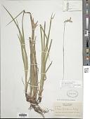view Carex x knieskernii Dewey digital asset number 1