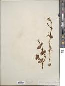 view Ranunculus flabellaris digital asset number 1