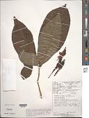 view Syngonium podophyllum var. vellozianum (Schott) Croat digital asset number 1