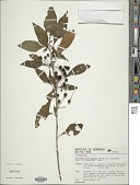 view Vassobia breviflora (Sendt.) Hunz. digital asset number 1