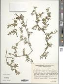 view Richardia grandiflora digital asset number 1
