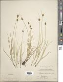view Carex athrostachya Olney digital asset number 1
