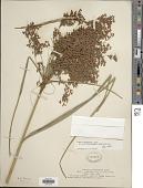view Scirpus cyperinus var. laxus (A. Gray) Beetle digital asset number 1