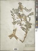 view Astragalus sparsus Decne. digital asset number 1