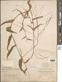 view Panicum sellowii Nees digital asset number 1
