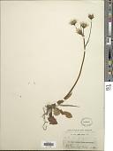 view Willemetia apargioides Neck. ex Rchb. digital asset number 1