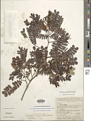 view Pityrocarpa moniliformis (Benth.) Luckow & R. W. Jobson digital asset number 1