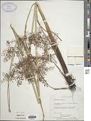 view Cyperus exaltatus Retz. digital asset number 1