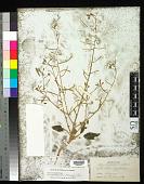 view Chylismia brevipes subsp. pallidula (Munz) W.L. Wagner & Hoch digital asset number 1