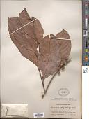 view Lithocarpus polystachyus (Wall. ex A. DC.) Rehder digital asset number 1