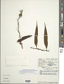 view Microgramma dictyophylla (Kunze ex Mett.) de la Sota digital asset number 1