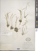 view Arabis microphylla Nutt. digital asset number 1
