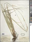 view Carex obispoensis Stacey digital asset number 1