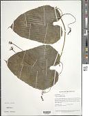 view Gurania breviflora Cogn. digital asset number 1