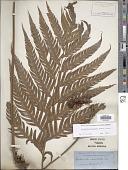 view Woodwardia prolifera Hook. & Arn. digital asset number 1