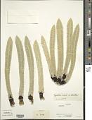 view Espeletia nana Cuatrec. x E. schultzii Wedd. digital asset number 1