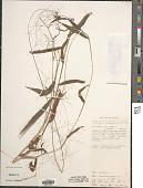 view Cyrtococcum patens (L.) A. Camus digital asset number 1