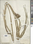 view Carex lupulina Muhl. ex Willd. digital asset number 1