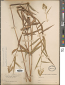 view Isachne arundinacea (Sw.) Griseb. digital asset number 1