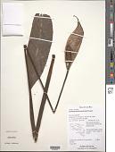 view Spathiphyllum friedrichsthalii Schott digital asset number 1
