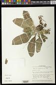 view Streptocarpus primulifolius digital asset number 1