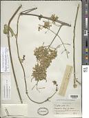 view Mascagnia paniculata (Mill.) W.R. Anderson & C. Davis digital asset number 1