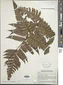 view Polybotrya caudata f. villosa digital asset number 1