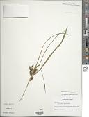 view Carex frankii Kunth digital asset number 1
