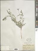 view Astragalus iodanthus S. Watson in C. King digital asset number 1