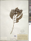 view Olea paniculata Aiton digital asset number 1