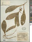 view Clintonia uniflora Kunth digital asset number 1
