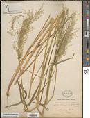 view Cinnagrostis polygama Griseb. digital asset number 1