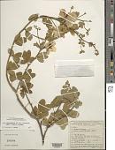 view Senna macranthera var. pudibunda (Benth.) Irwin & Barneby digital asset number 1