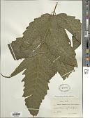 view Tectaria heracleifolia (Willd.) Underw. digital asset number 1