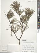 view Pinus virginiana Mill. digital asset number 1