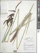 view Carex alligata Boott digital asset number 1