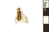 view Leaf-rolling Sawfly, Web-spinning Sawfly digital asset number 1