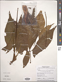 view Syngonium mauroanum Birdsey ex G.S. Bunting digital asset number 1