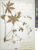 view Geranium sylvaticum L. digital asset number 1